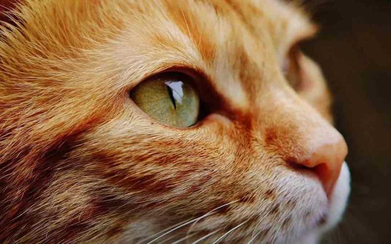 O que é Peritonite Infecciosa Felina